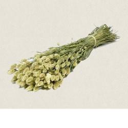 phalaris naturel